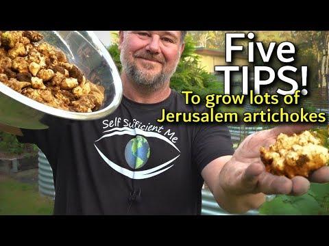 5 Tips How to Grow a Ton of Jerusalem Artichoke/Sunchoke