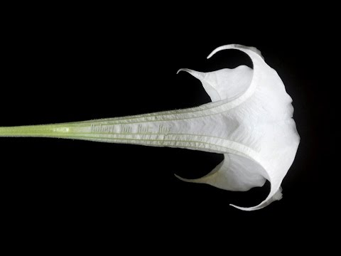 Most poisonous plant world Angel Trumpet anticholinergic and hallucinogenic (the devil's breath)