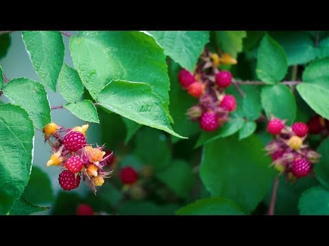 Knowing What's Growing #4: Wineberries