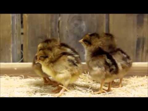 Welsummer Bantam Chicks