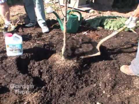 Plant a Cherry Tree