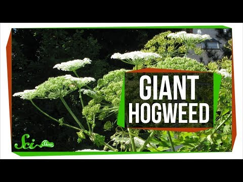 The Oversized Invasive Carrot That Can Give You Third Degree Burns
