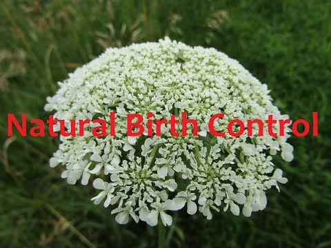 Making Queen Anne's Lace Double Tincture