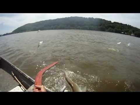 Asian Carp Boomerang Kills