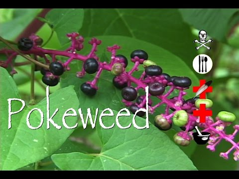 Pokeweed: Poison, Edible, Medicinal & Other Uses