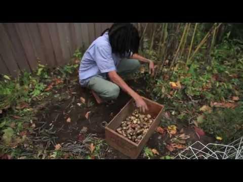 Harvesting & Storing Jerusalem Artichokes
