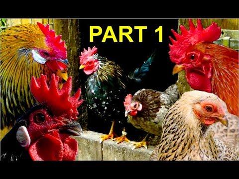 Top10 MOST BEAUTIFUL BANTAM CHICKENS Part 1: Serama, Wyandotte, Brahma, Leghorn bantams