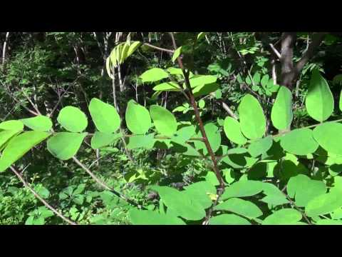 What does Poison Sumac Look Like?