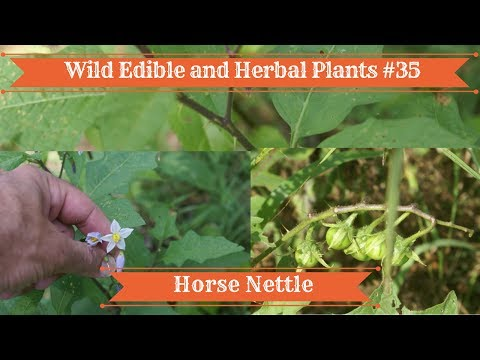 Wild Edible and Herbal Plants #35 Horse Nettle