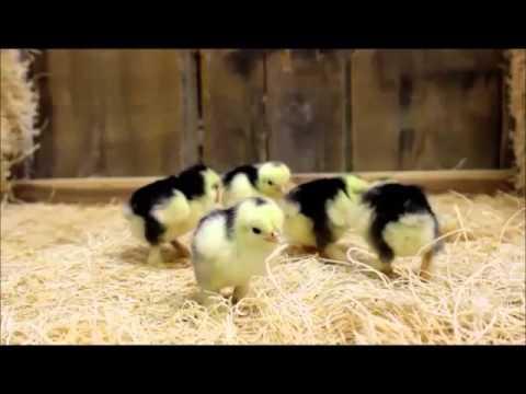 Mottled Cochin Bantam Chicks