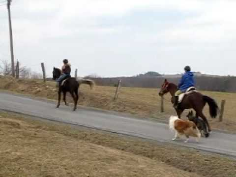 Rocky Mountain Horse & Tennessee Walking Horse