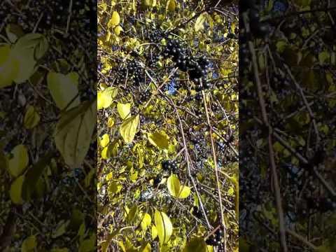 Buckthorn Berries ll