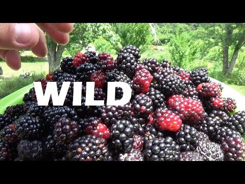 Tons of WILD Blackberries In Our Food Forest