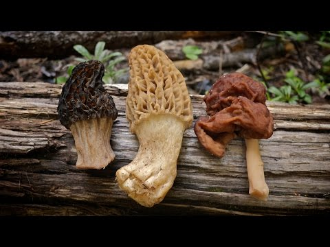 Morel Mushrooms 101: How to Safely Identify and Harvest Morels