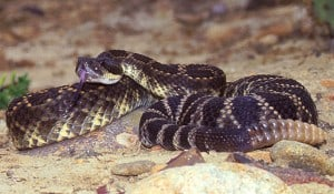 Black Diamond Rattlesnake