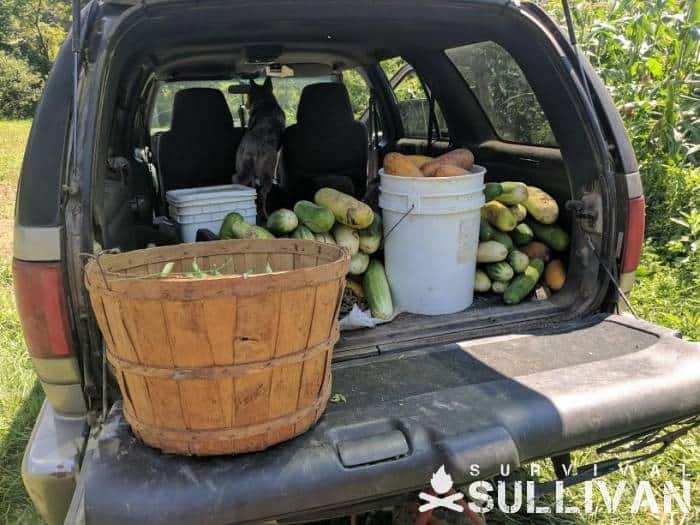 harvest in the back of a pickup truck