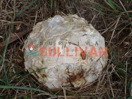 calvatia booniana