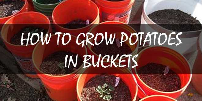 growing potatoes in buckets logo