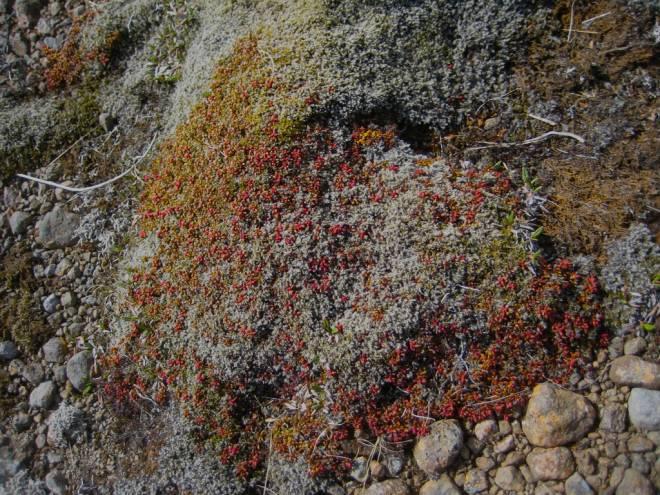 icelanding moss