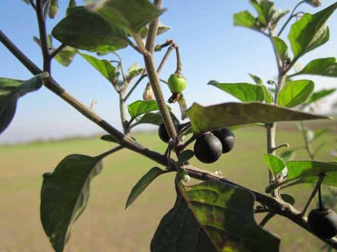 Black Nightshade solanum nigrum