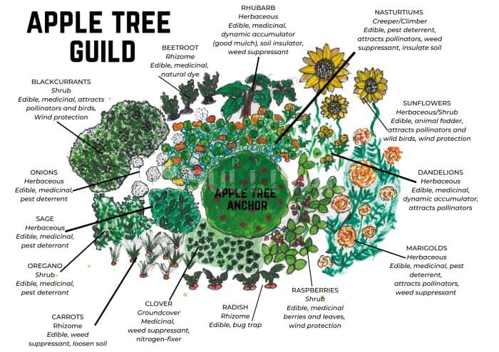 apple tree guild diagram small