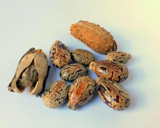 castor beans seeds