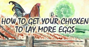 get chicken to lay more logo