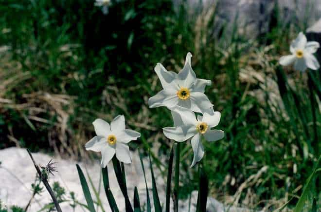 poets narcissus flickr public domain
