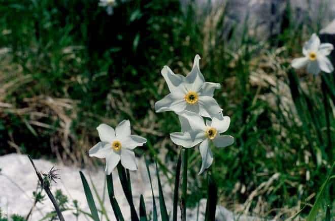 poets narcissus flickr public domain