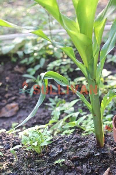 corn with capsicum