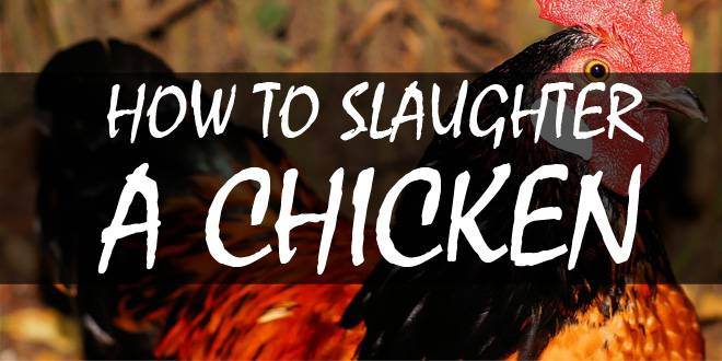 how to slaughter a chicken logo