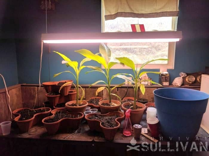 plants on a wooden table under grow lights
