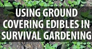 ground-covering edibles featured image