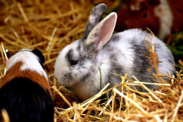 Rabbit in straw bedding