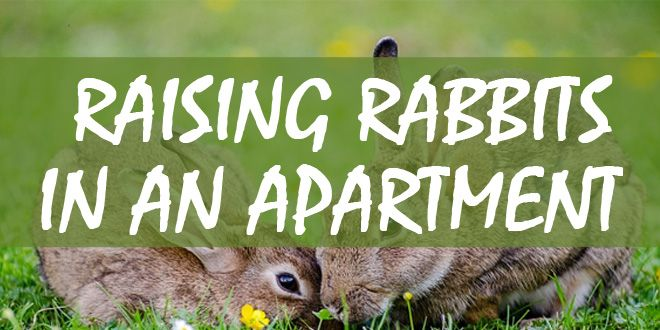 raising rabbits-in apartments featured image