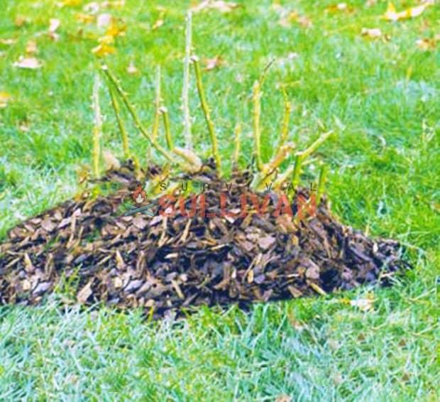 bush crown