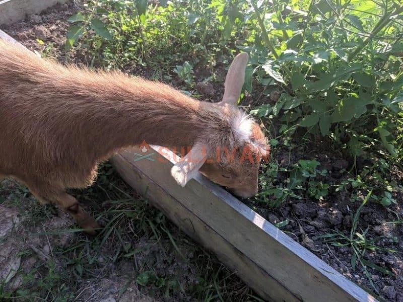 goat in herb garden