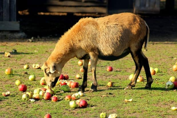 sheep eating apple