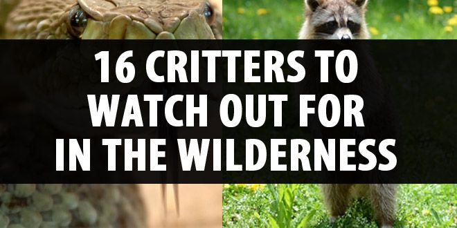 wilderness critters featured