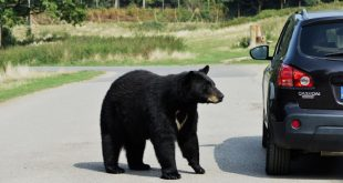 black bear near car
