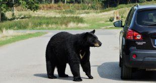 black bear near car