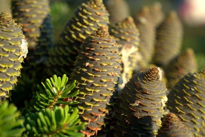 Can You Eat Pine Cones Or Not