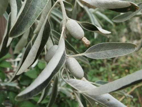 Oleaster Tree