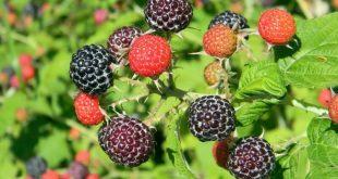 black raspberries foraging