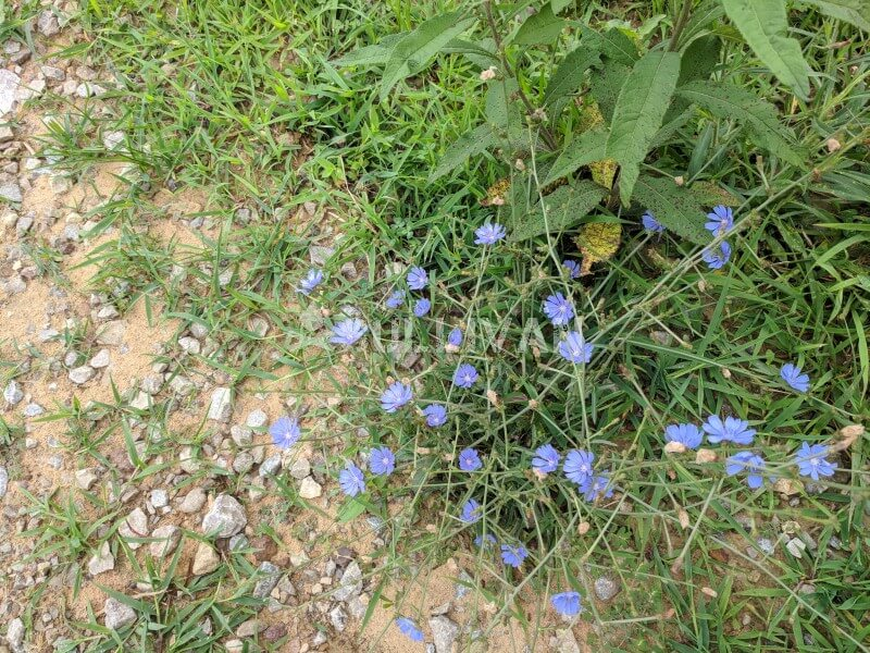 chicory flowers on the homestead