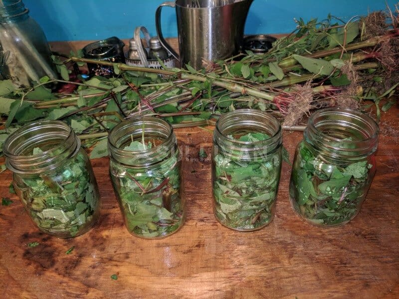 Jewelweed Leaves And Stems To Make A Wound Wash