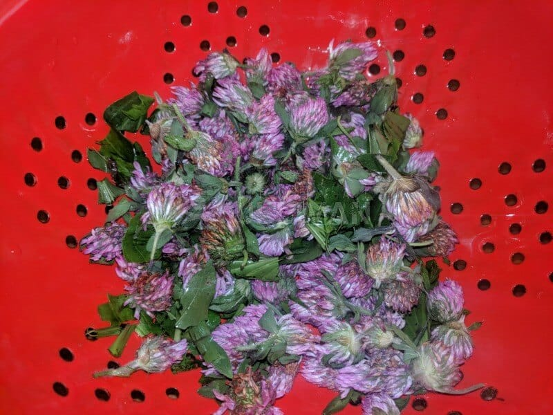 red clover flower heads