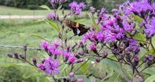 ironweed flowers and plant