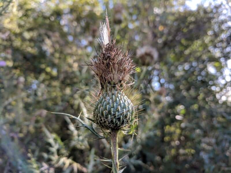 milk thistle cone dying off
