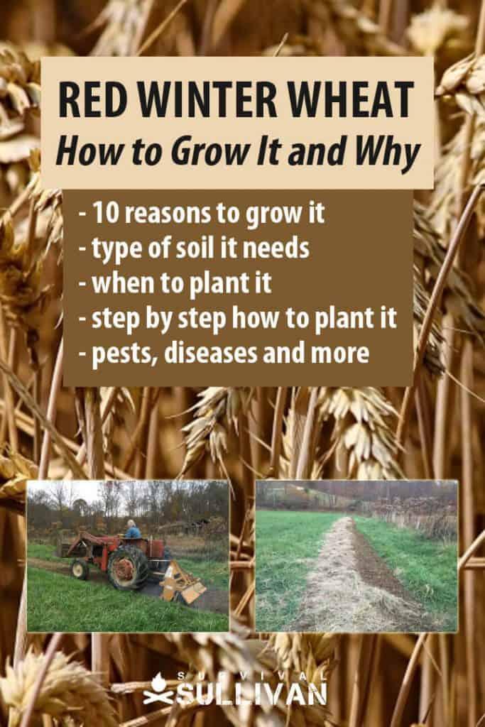 red winter wheat Pinterest image